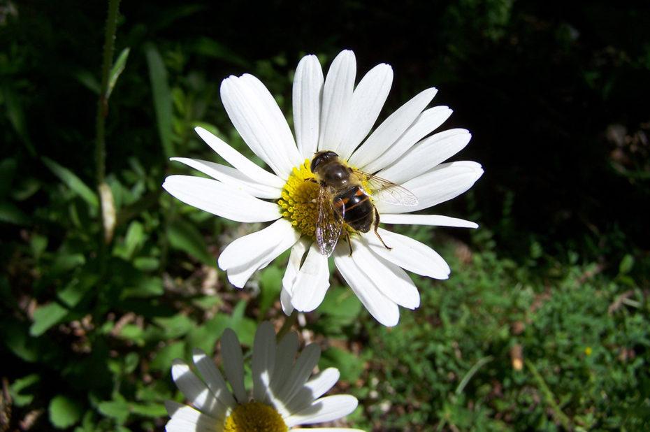 Une abeille posée sur une marguerite blanche