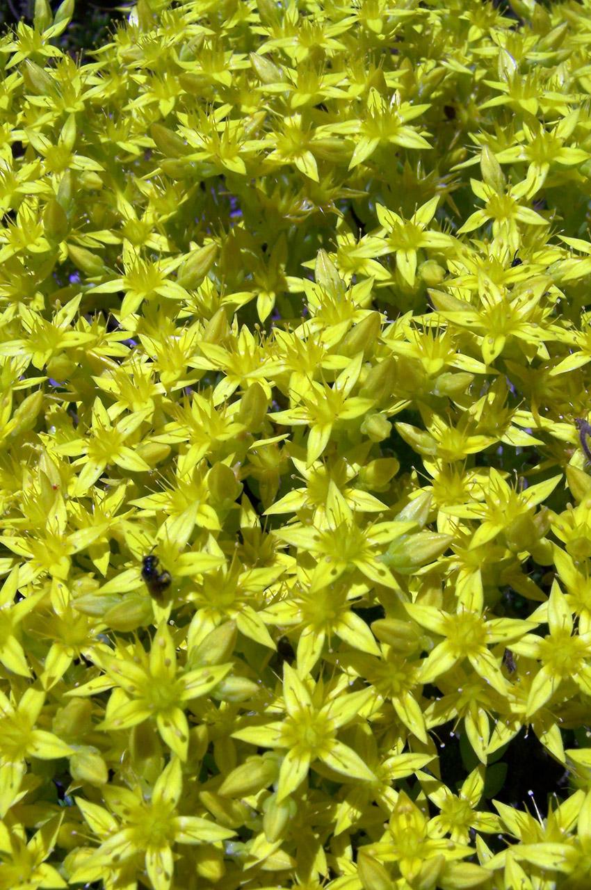 Orpin âcre fleur jaune