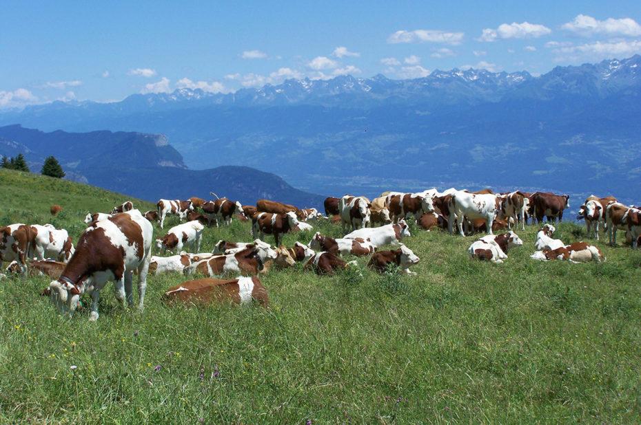 Vaches dans un pré du Vercors