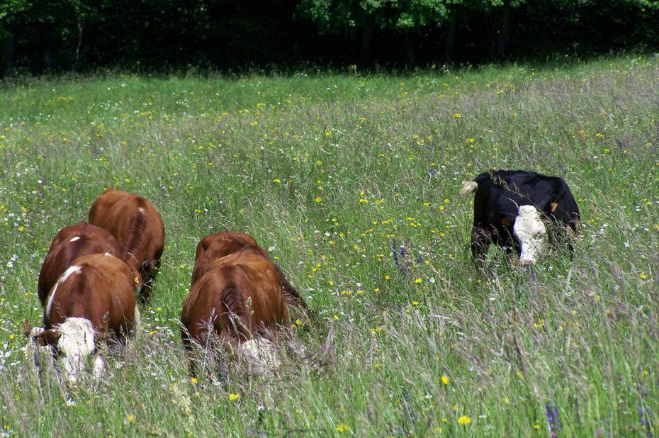 Vaches broutant dans les herbes hautes