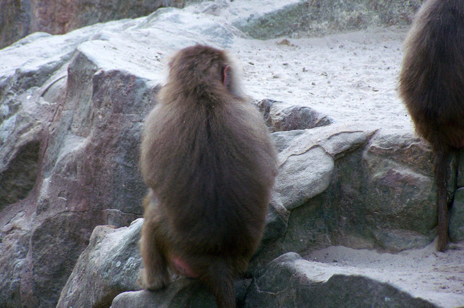 Le petit singe tente de s'intégrer
