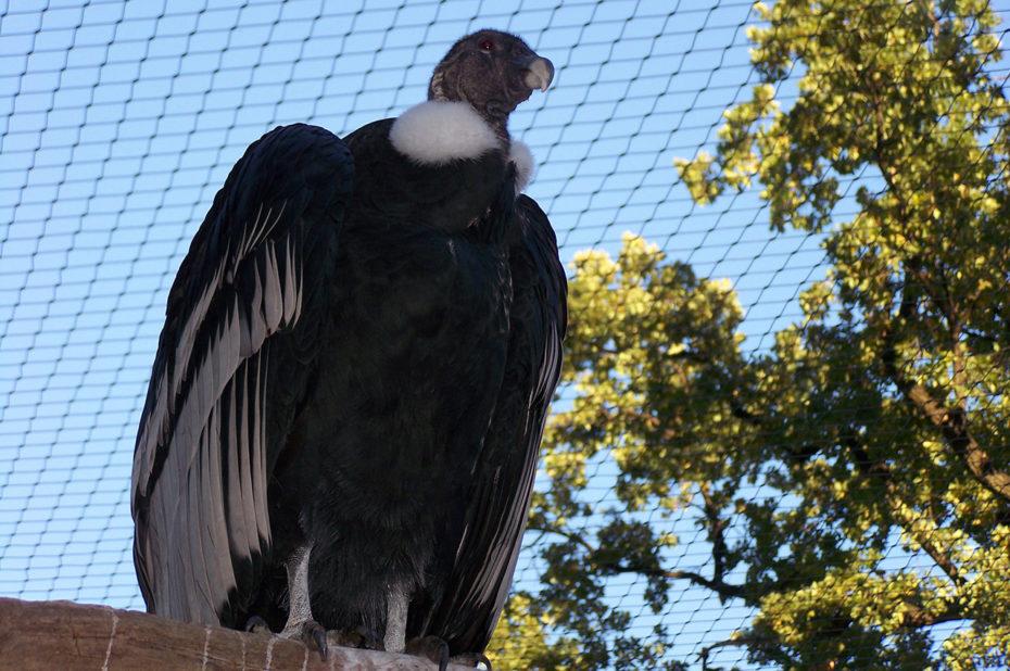 Un condor