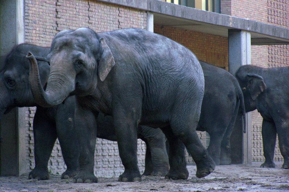 Les éléphants rentrent pour manger