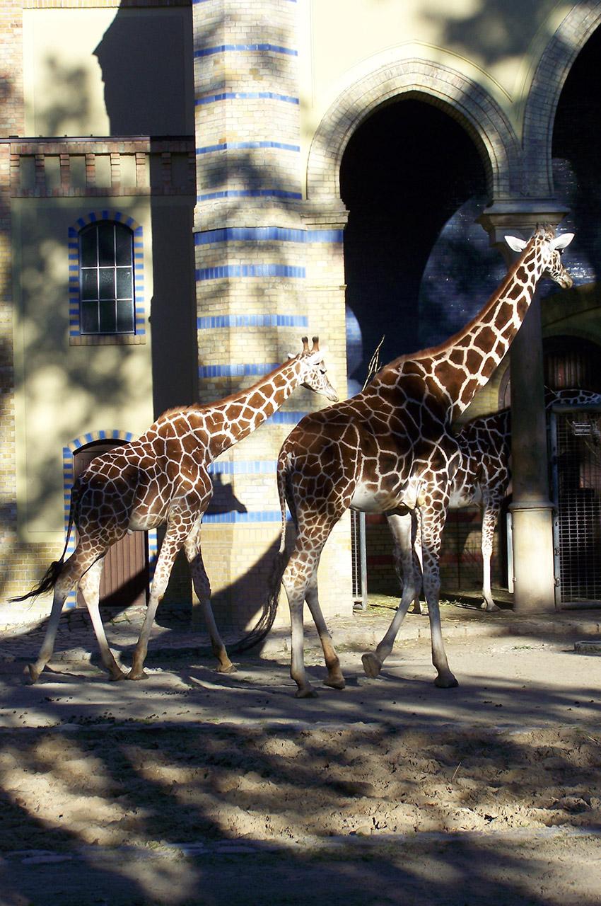 L'enclos des girafes