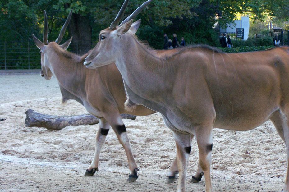 Dans la famille antilope
