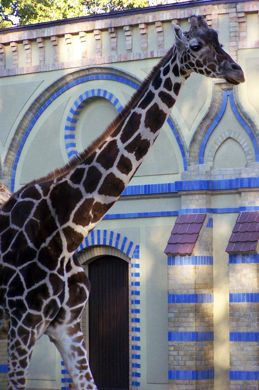 Grâce à son cou, la girafe peut atteindre 5,5 m