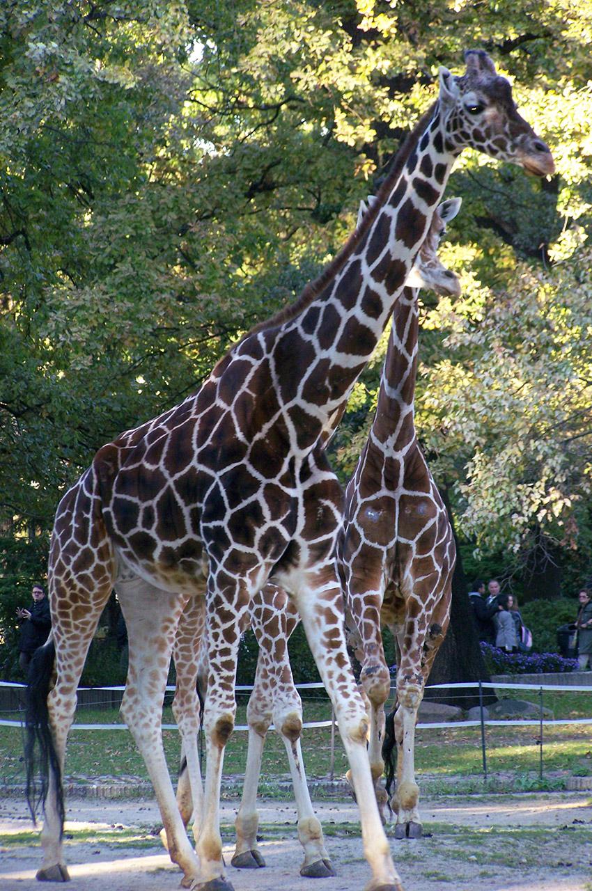 2 girafes au zoo de Berlin