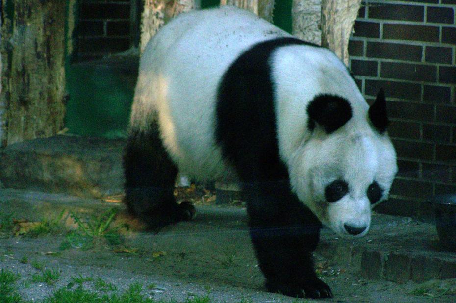 Le grand panda dans sa démarche majestueuse