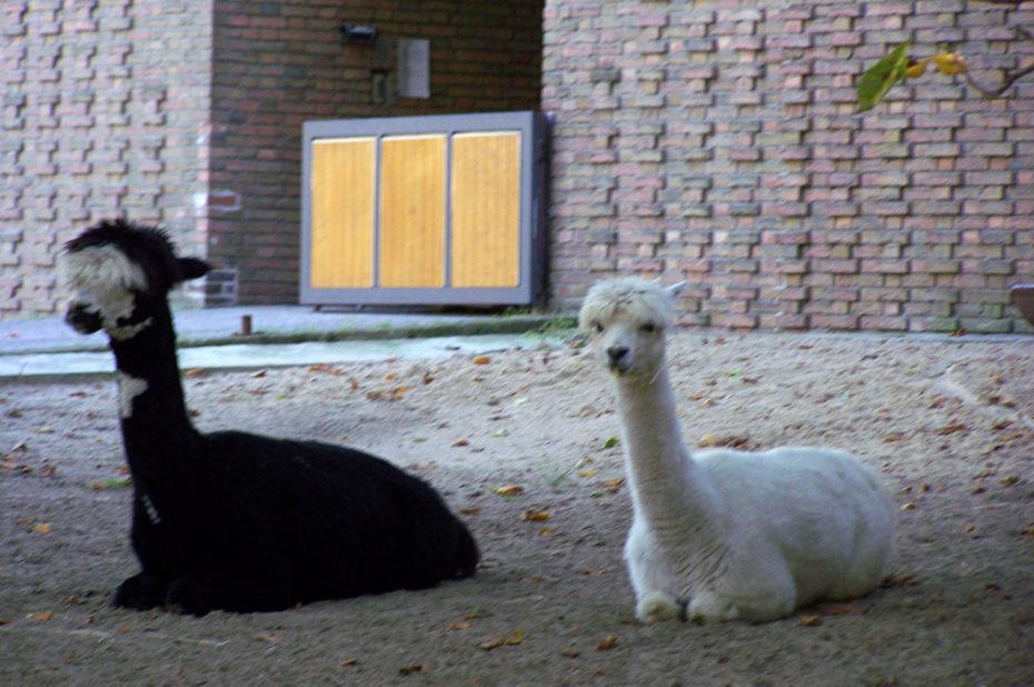 Des lamas, un noir et un blanc
