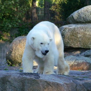 Un magnifique ours blanc