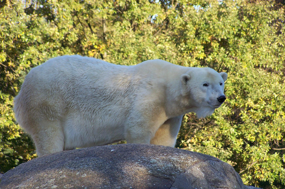L'ours blanc attend son repas