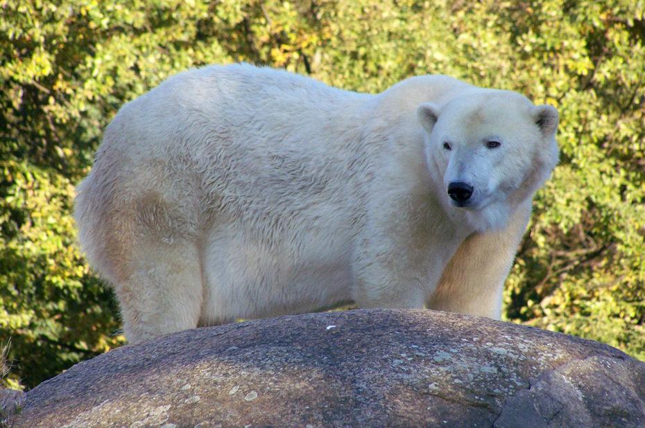 Ours blanc au zoo de Berlin