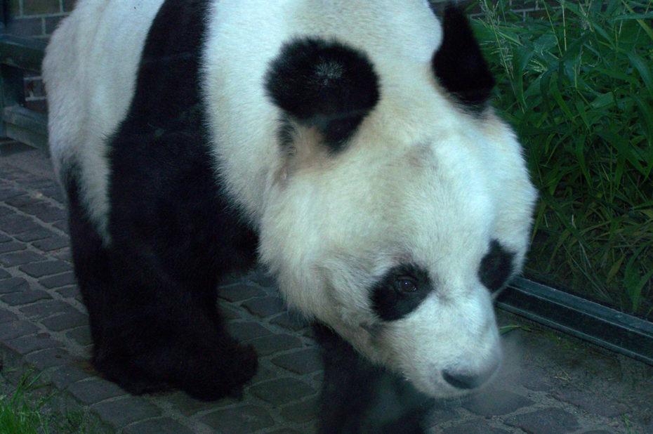 Le grand panda, espèce menacée