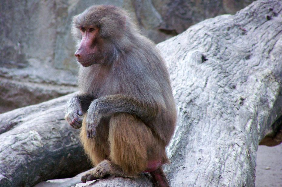 Un singe de la famille des babouins