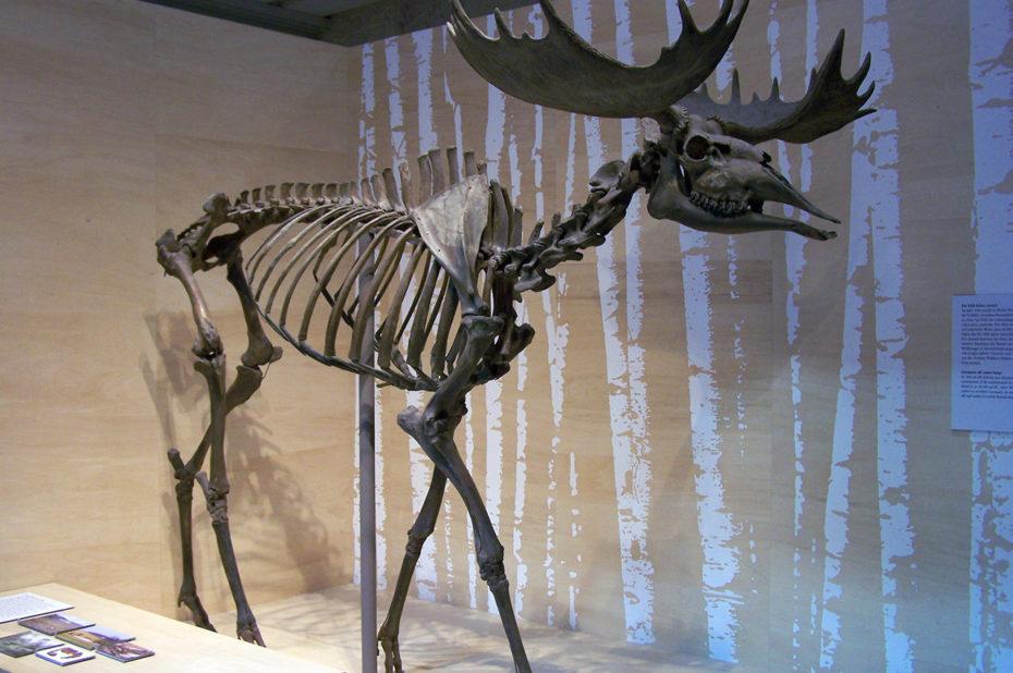 Squelette d'un élan