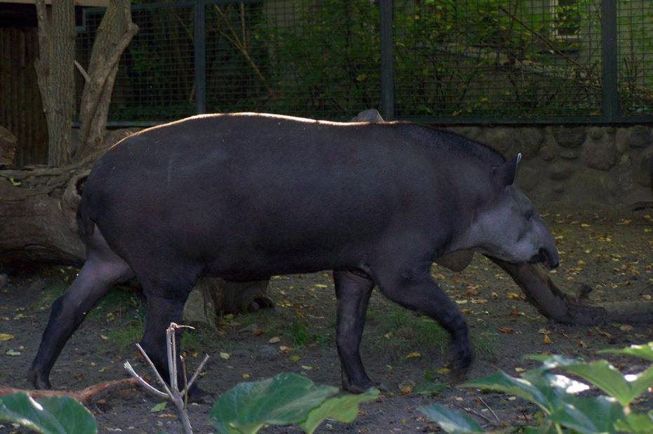 Un tapir