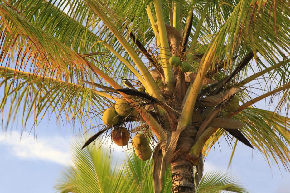 Un cocotier sur la plage