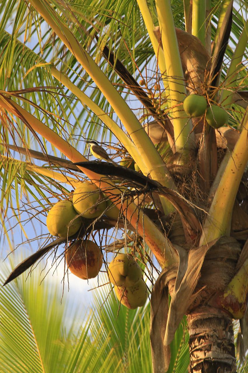 Fruits du cocotier et petit oiseau