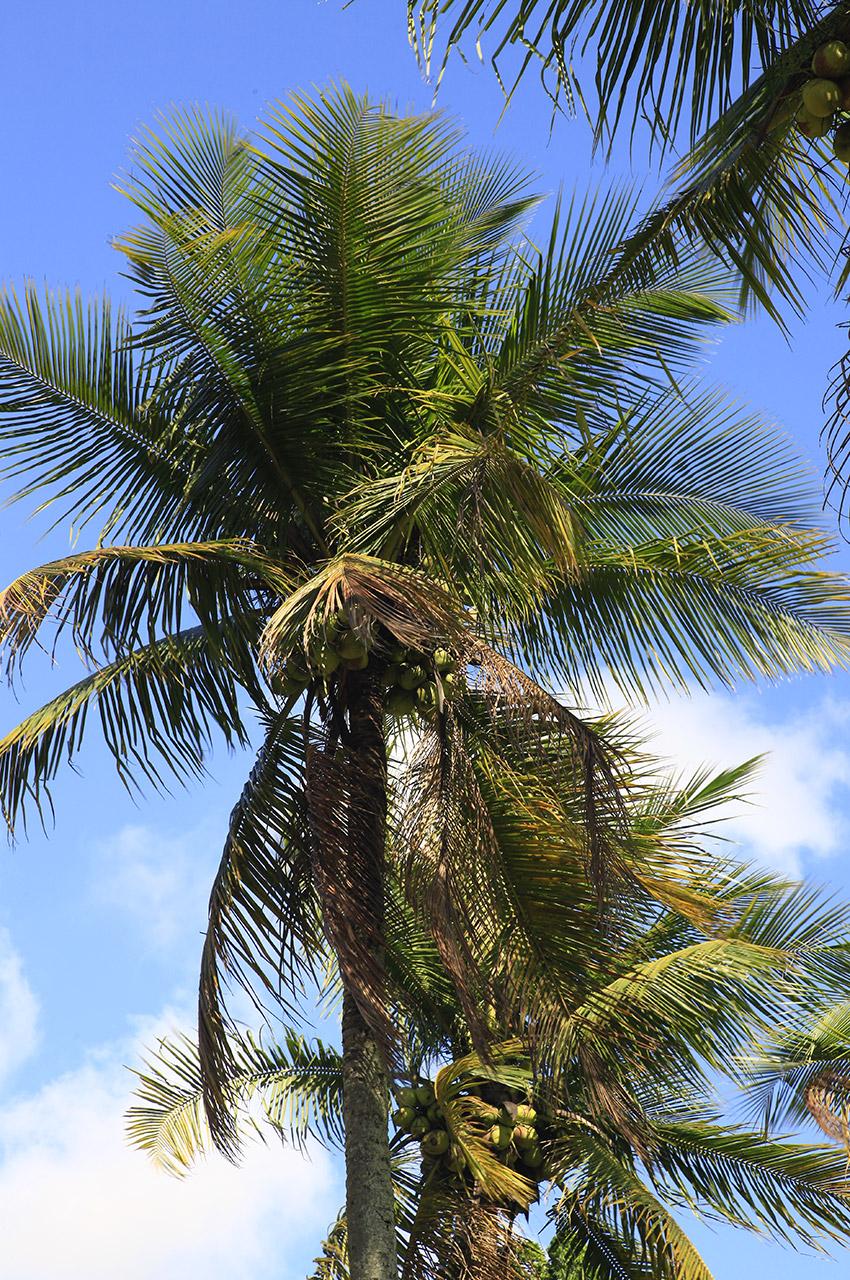 Le palmier, arbre emblématique du Brésil