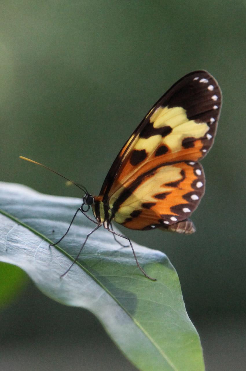 Un papillon aux couleurs orangées
