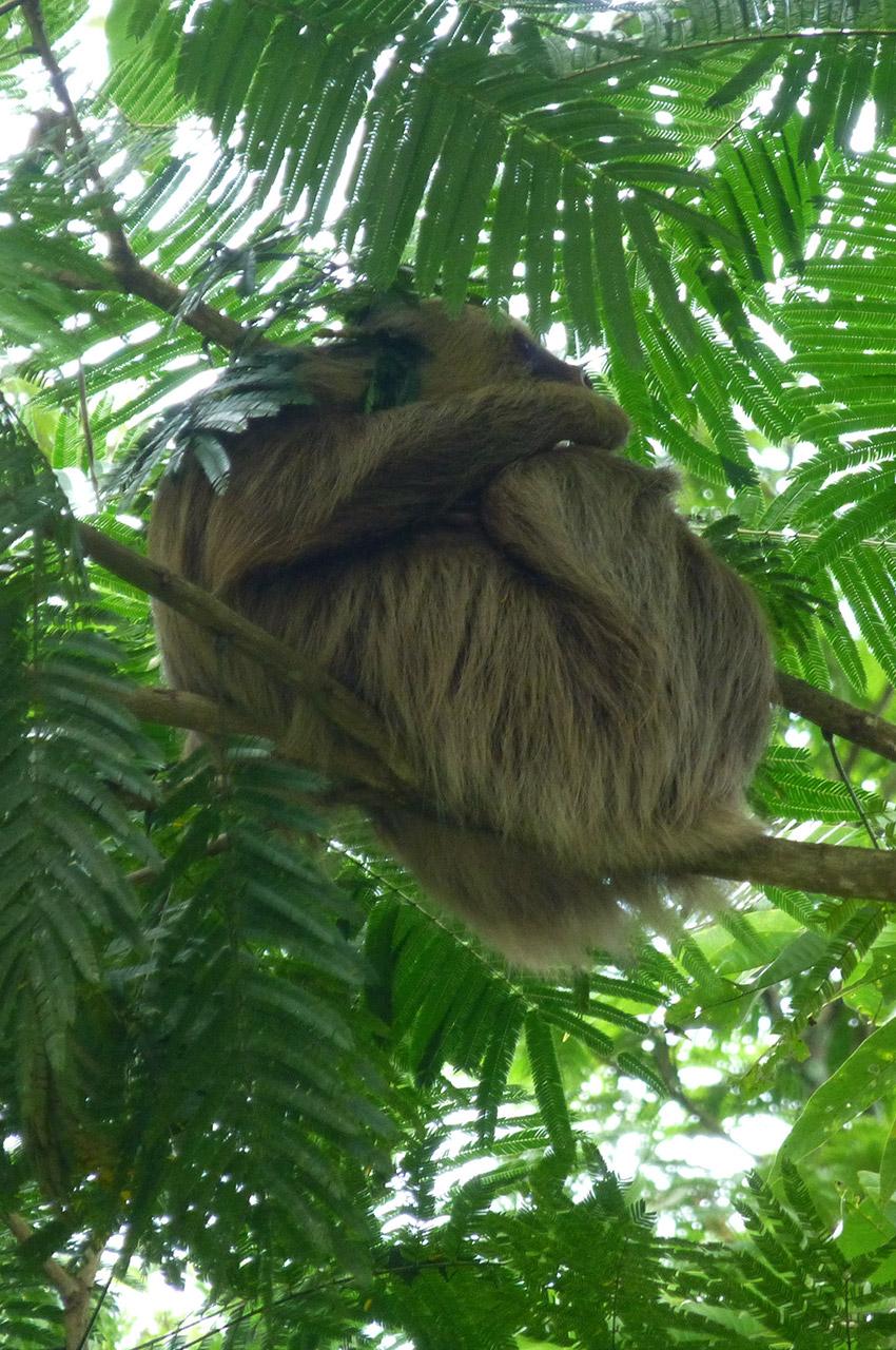 Un paresseux dans un arbre