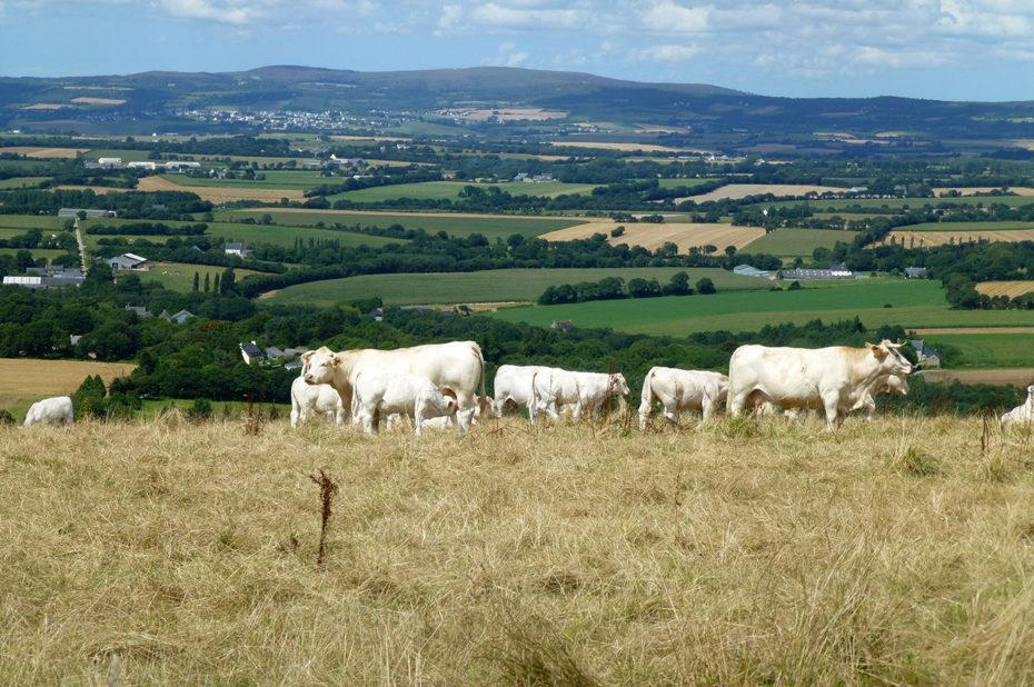 Vaches dans un pré sur la montagne de Locronan