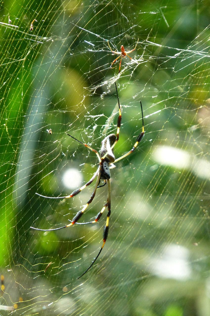 Une araignée sur sa toile à Tortuguero