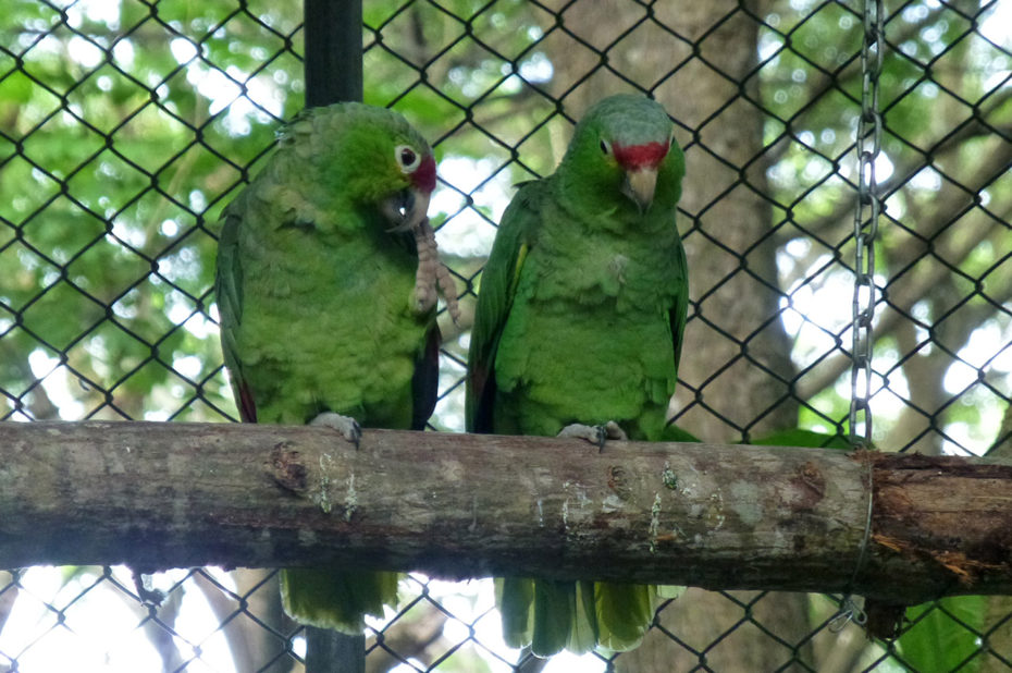 Couple de perroquets Red-Lored