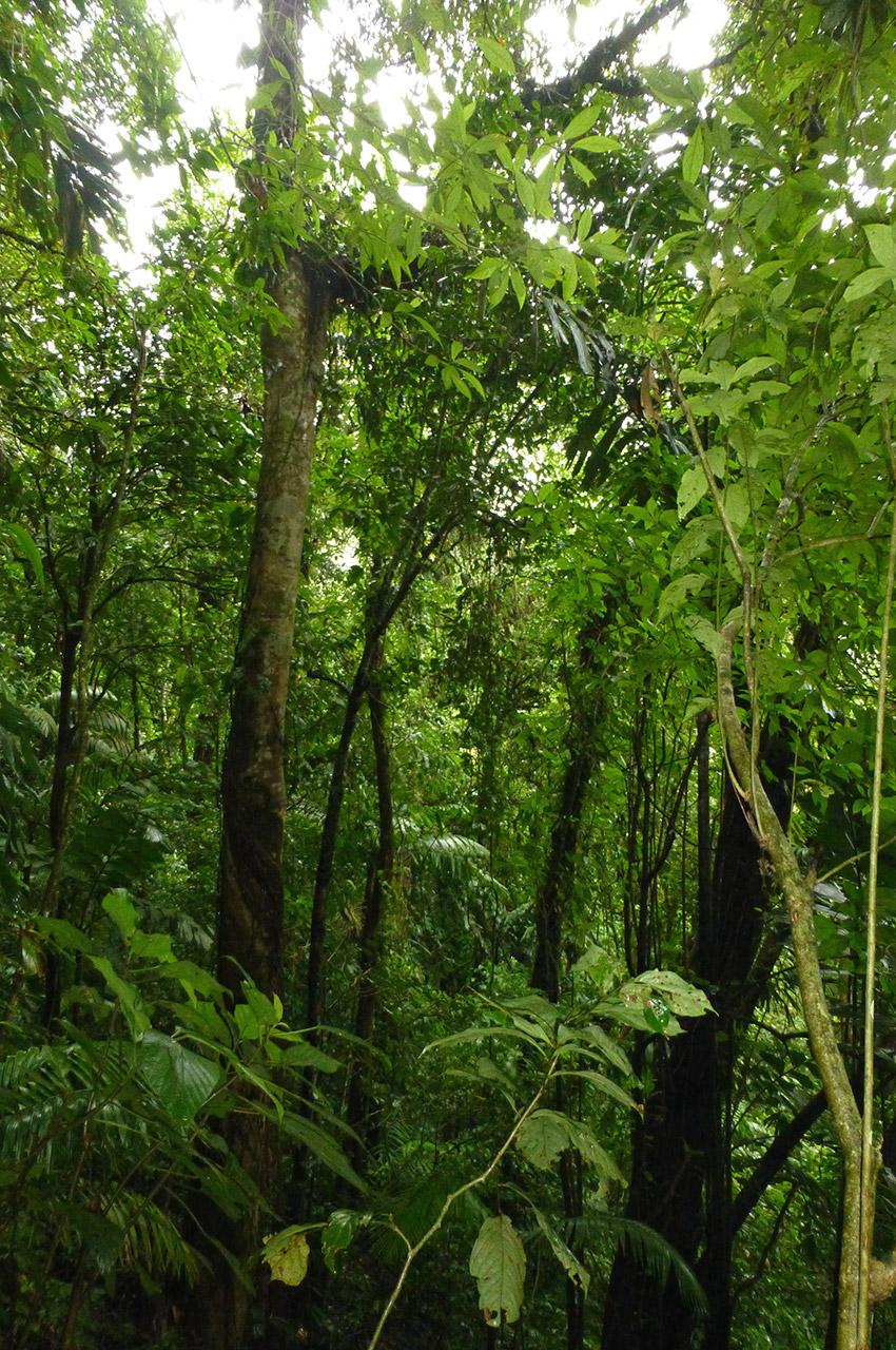La forêt au pied du volcan Arenal