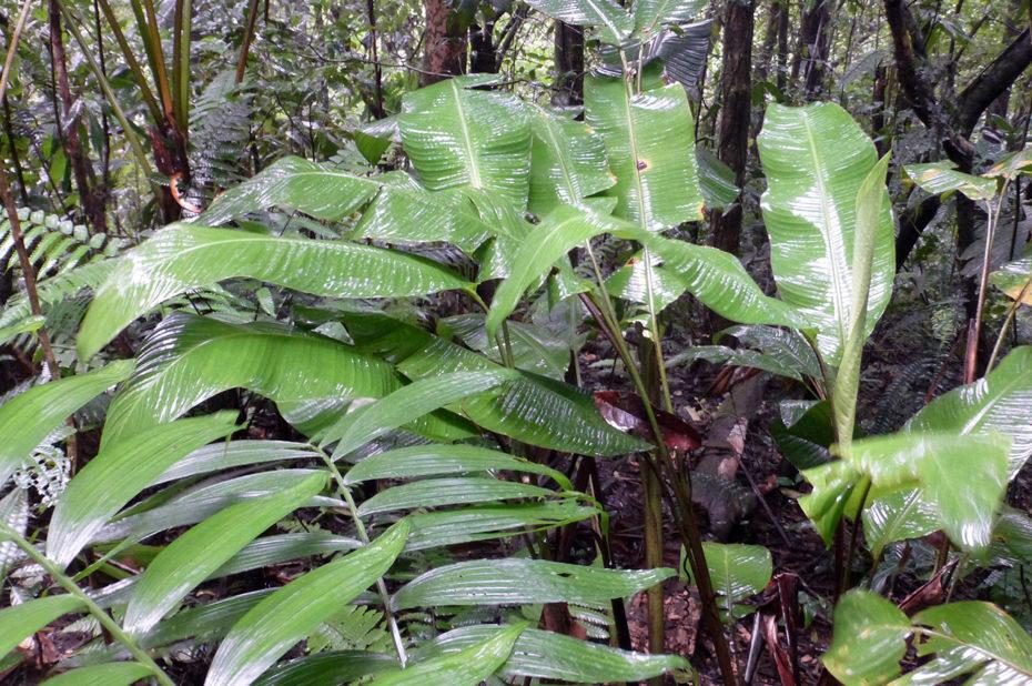 De grandes feuilles pour retenir l'eau de pluie
