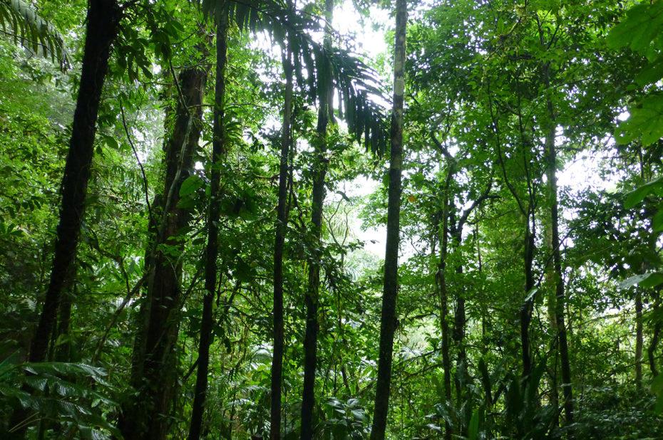 De très grands arbres dans la forêt humide