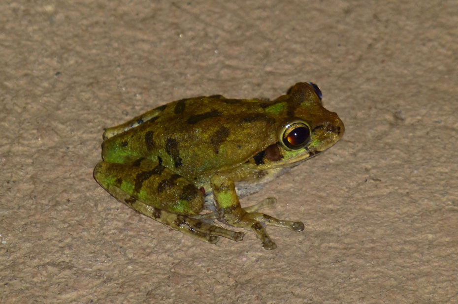 Une grenouille, de nuit