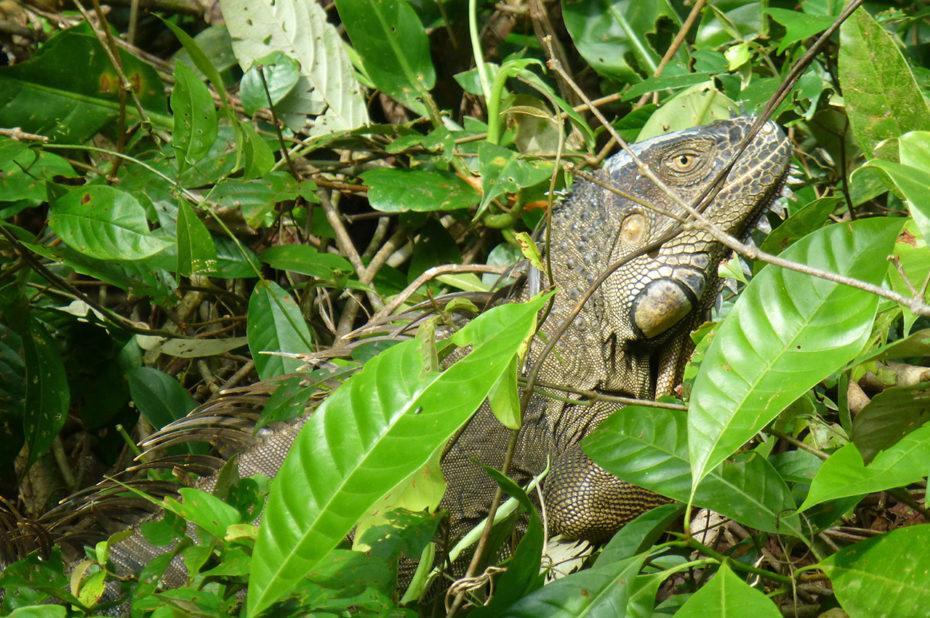 Un iguane caché dans les feuillages