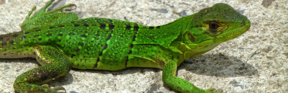 Lézard vert à Rincon de la Vieja