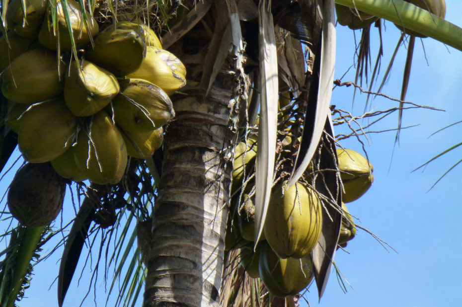 Des noix de coco dans l'arbre