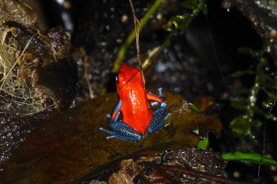 Oophaga pumilio ou grenouille fraise