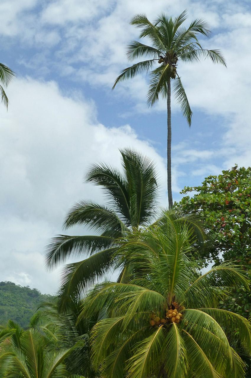 Des palmiers de plusieurs dizaines de mètres de haut