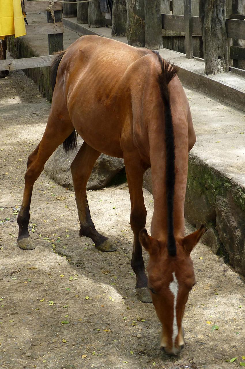 Un poulain dans le ranch de l'hacienda Guachipelin