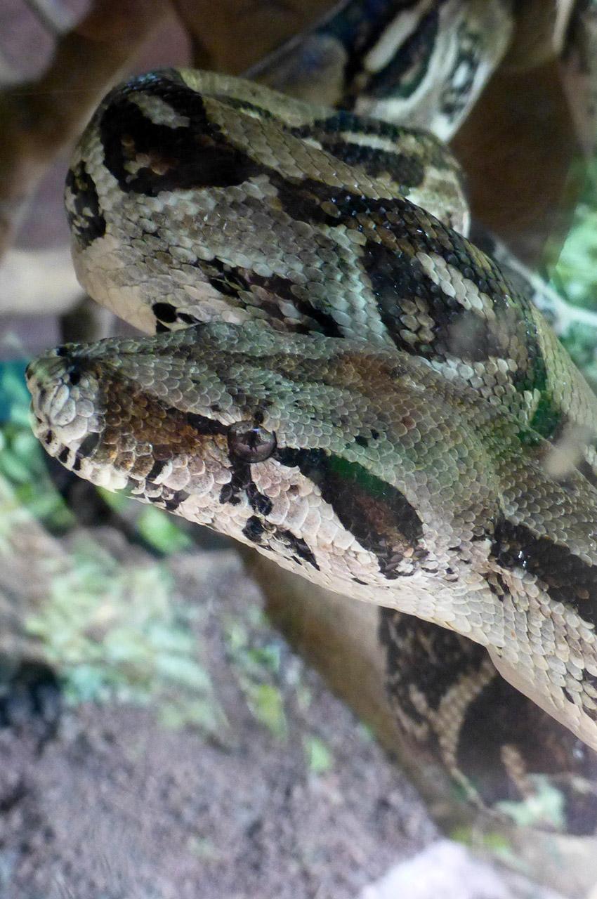 Un serpent potentiellement dangereux