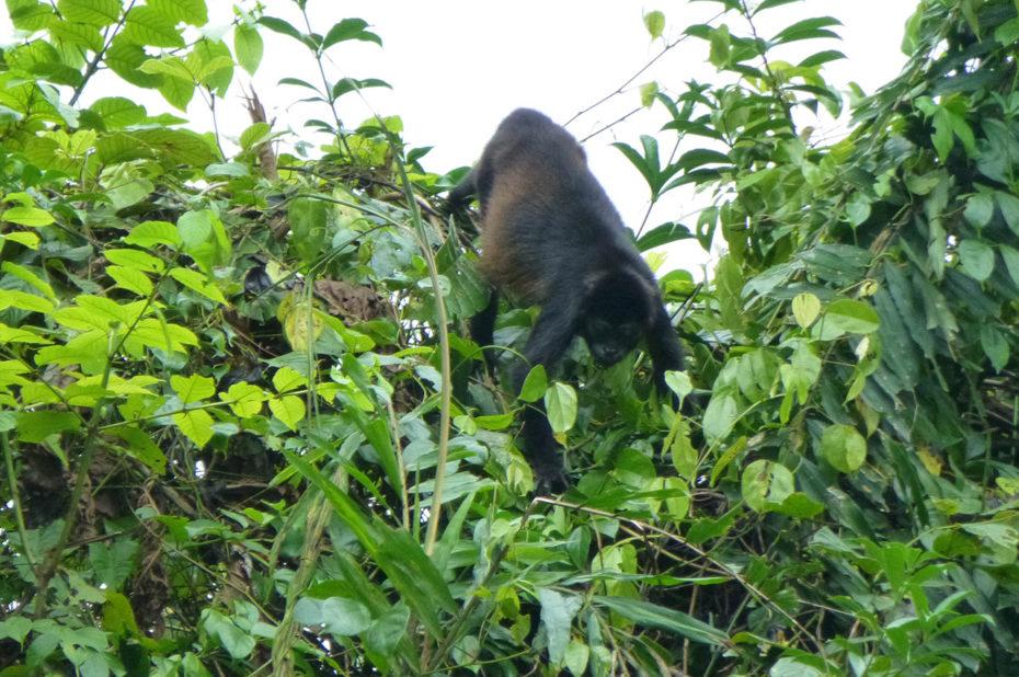 Un singe à la cime des arbres