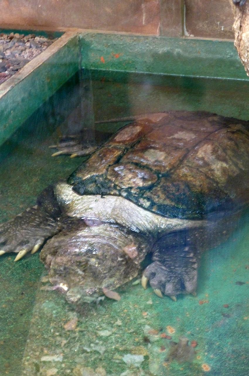 Une tortue d'eau toutes griffes dehors