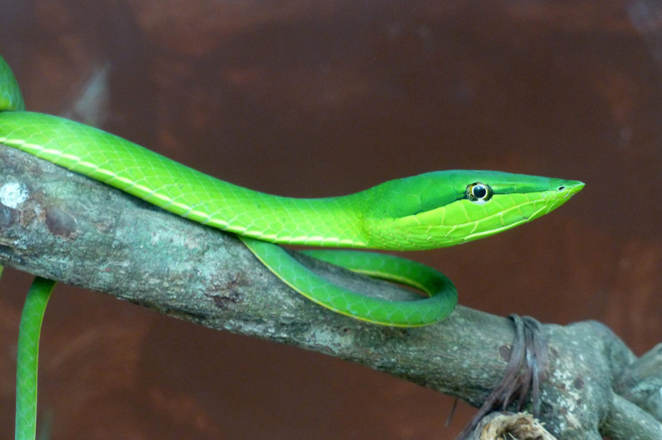 Vine Snake (Oxybelis fulgidus)