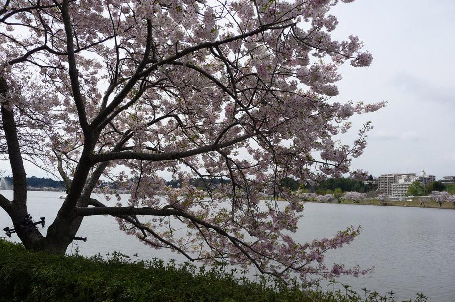 Cerisier au bord de la rivière Naka