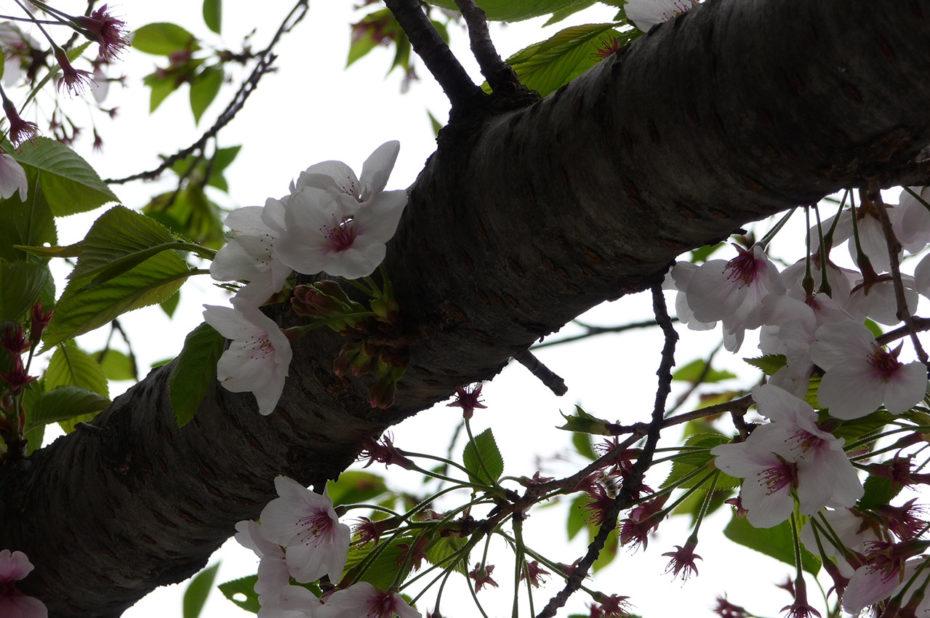 Un cerisier devant la mairie de Tokyo