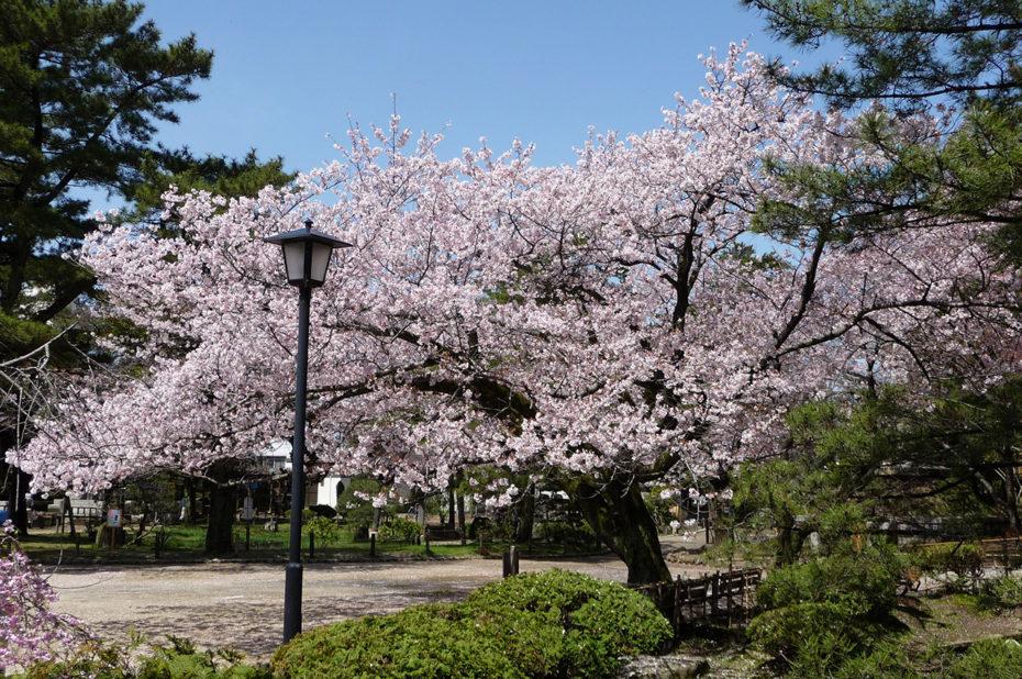 Cerisier en fleurs à Tsuchiura