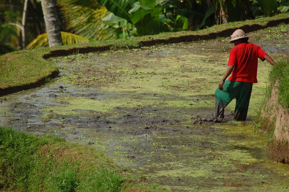 Cultivateur de riz à Bali