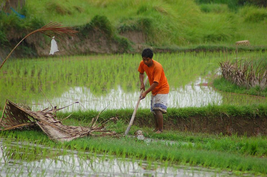 La culture du riz à Bali