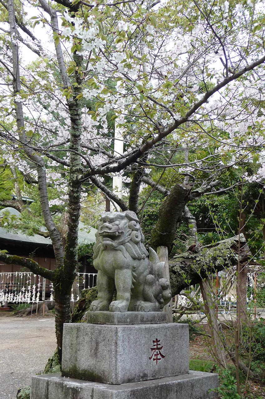 Un lion monte la garde sous les cerisiers en fleurs