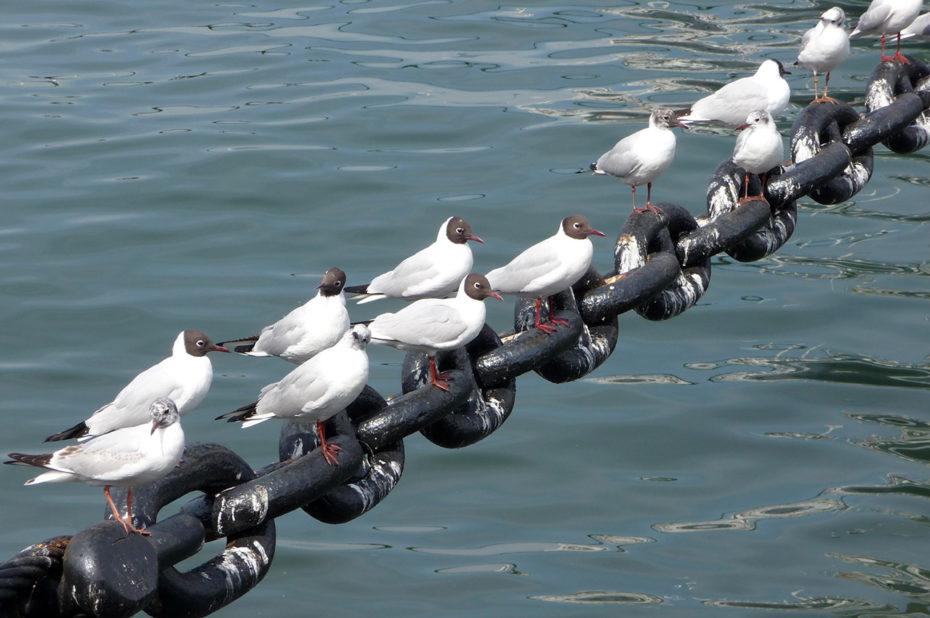 Mouettes sur les chaînes du Hikawa Maru