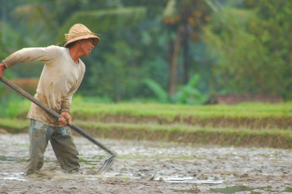 Un paysan dans une rizière à Bali